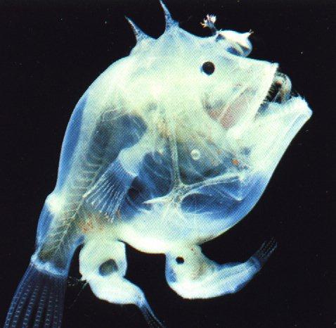 anm13-deepoceanfish-transparent.jpg